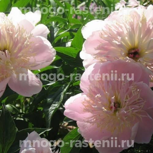 Пион молочноцветковый Жемчужная россыпь