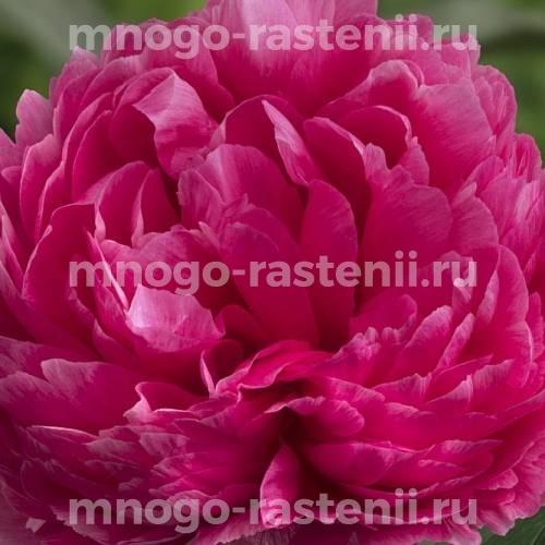 Пион молочноцветковый Белгравия