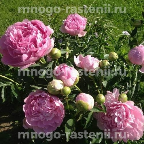 Пион молочноцветковый  Диннер Плейт