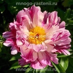 Пион молочноцветковый  Пинк Луау