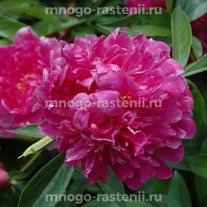 Пион молочноцветковый  Виктори де ла Марне