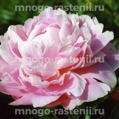 Пион молочноцветковый Пинк Гиант