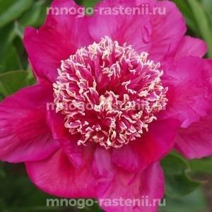 Пион молочноцветковый Баррингтон Белль