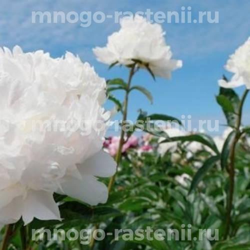 Пион молочноцветковый Класс Акт