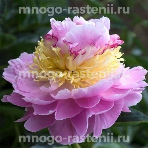 Пион молочноцветковый Лавон