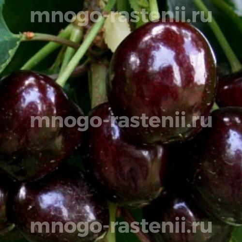 Чудо вишня (дюк) Мелитопольская радость