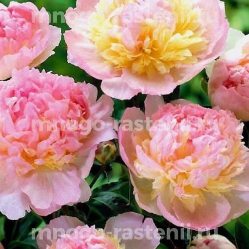 Пион молочноцветковый Расберри Сандей