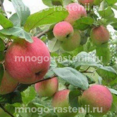 Яблоня Августа