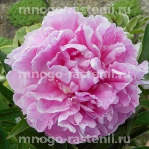 Пион молочноцветковый Рим