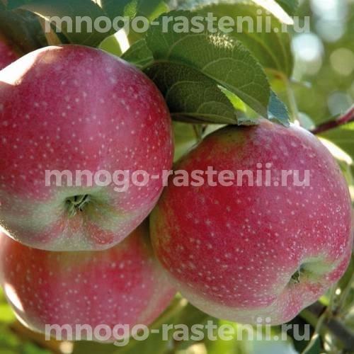 Яблоня Альва