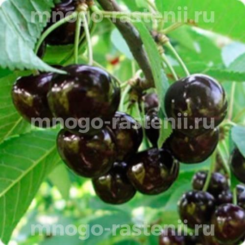 Чудо вишня (дюк) Ширпотреб Чёрная