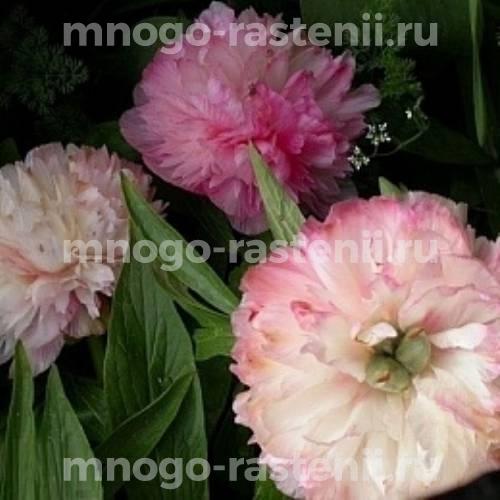 Пион молочноцветковый Сиинг Блю