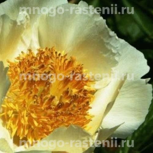 Пион молочноцветковый Старлайт