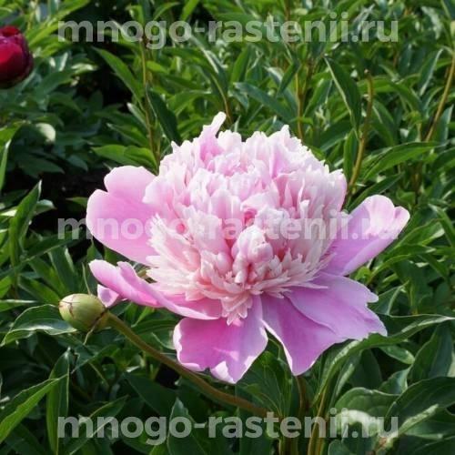 Пион молочноцветковый Сюзетт