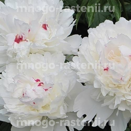 Пион молочноцветковый Фестива Максима