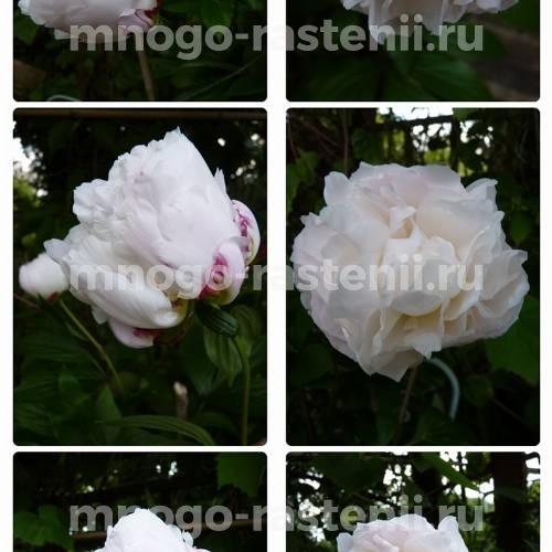 Пион молочноцветковый Ширли Темпл