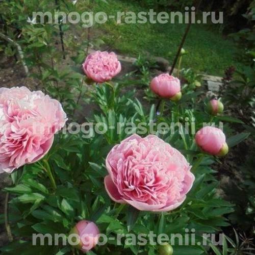 Пион молочноцветковый Этчед Салмон