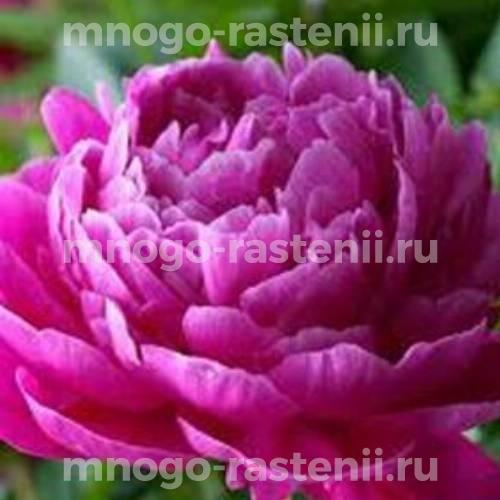 Пион молочноцветковый Ядвига