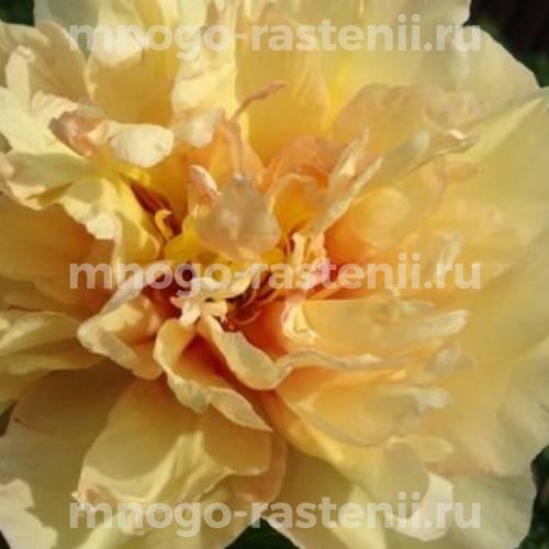 Пион молочноцветковый Канари Бриллиантс