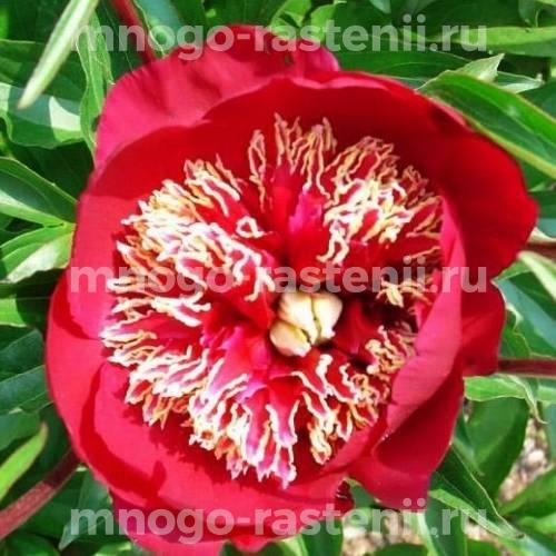 Пион молочноцветковый Чарльз Берджесс