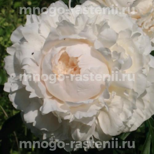 Пион молочноцветковый Соланж