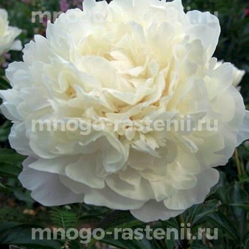 Пион молочноцветковый Мари Лемуан