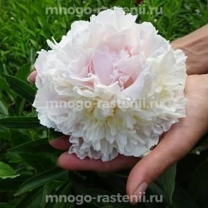 Пион молочноцветковый Блаш Куин