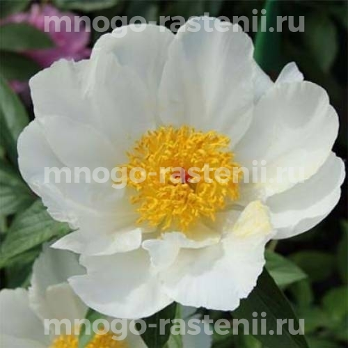 Пион молочноцветковый Вайт Вингс