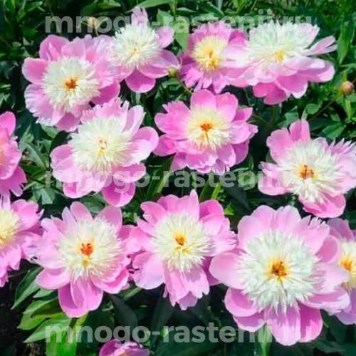Пион молочноцветковый Вестернер