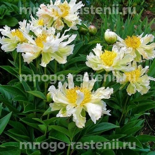 Пион молочноцветковый Грин Лотус