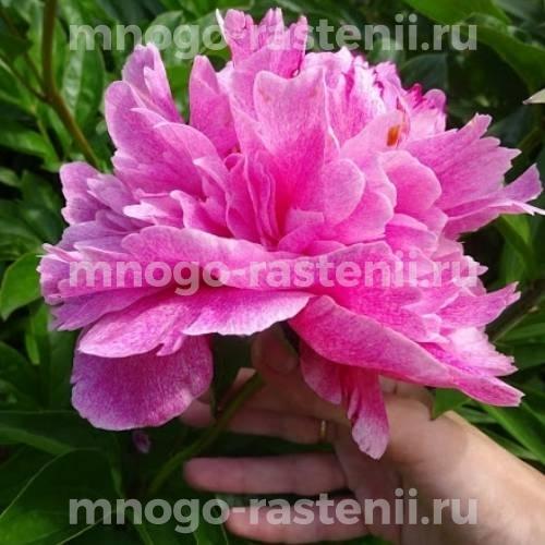 Пион молочноцветковый Зе Фавн