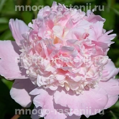 Пион молочноцветковый Фэри`з Петтикоут