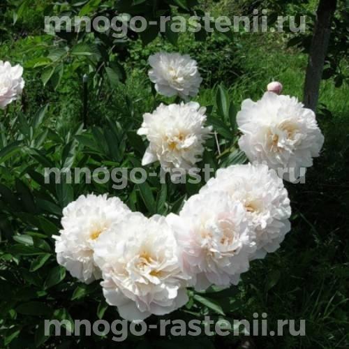 Пион молочноцветковый Гардения