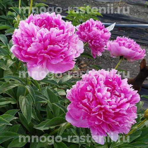 Пион молочноцветковый Глори Аллилуйя
