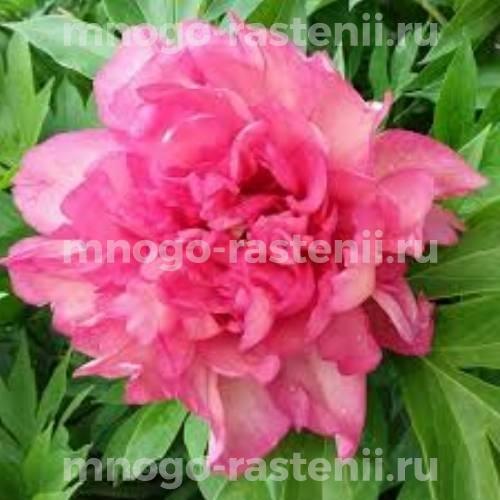 Пион молочноцветковый Шиммеринг Велвет