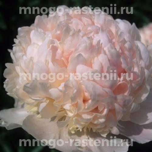 Пион молочноцветковый Свит 16