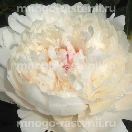 Пион молочноцветковый Фестива Поудер