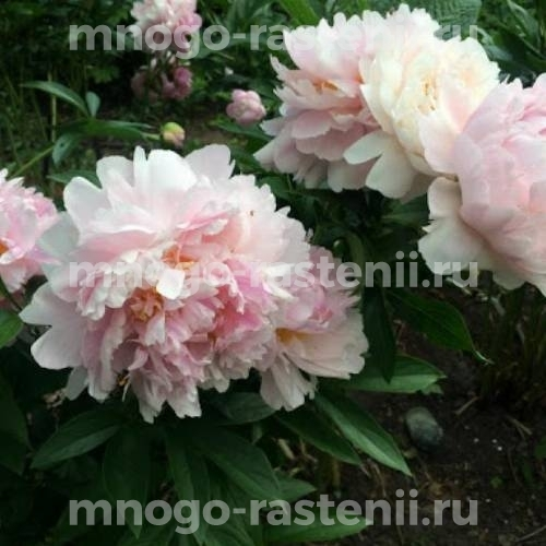 Пион молочноцветковый Рейн Делюкс