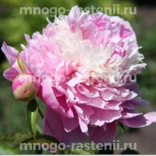 Пион молочноцветковый Силвер Даубед