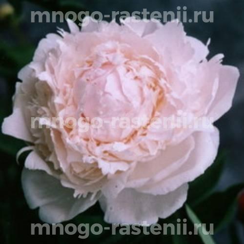 Пион молочноцветковый Френсис Мейнс