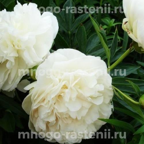 Пион молочноцветковый Сноу Принцесс