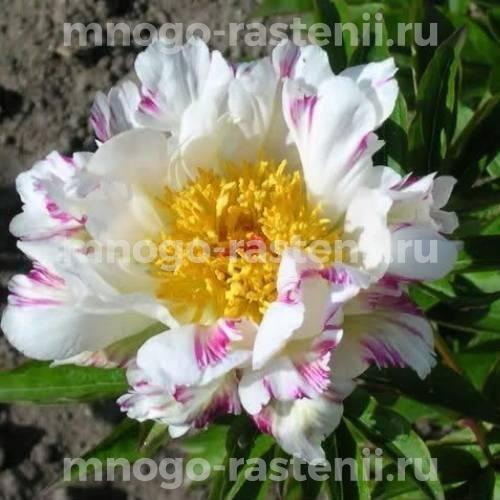 Пион молочноцветковый Крейзи Дейзи