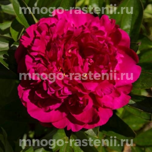 Пион молочноцветковый Виктуар де ла Марне