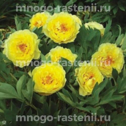 Пион молочноцветковый Еллоу Краун