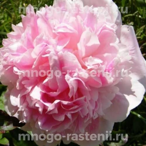 Пион молочноцветковый Кёнингин Вильгельмина