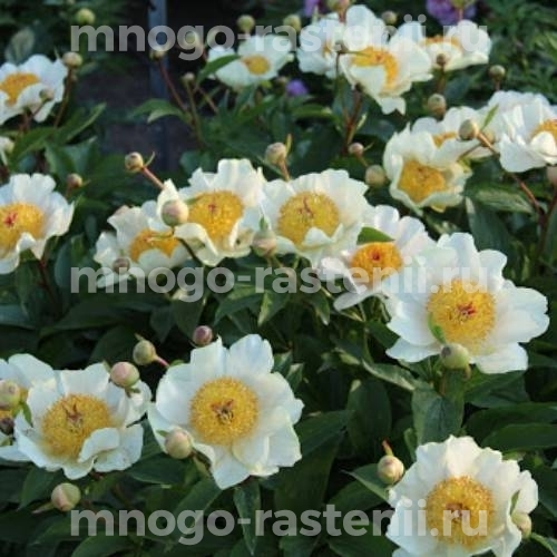 Пион молочноцветковый Клер де Люн
