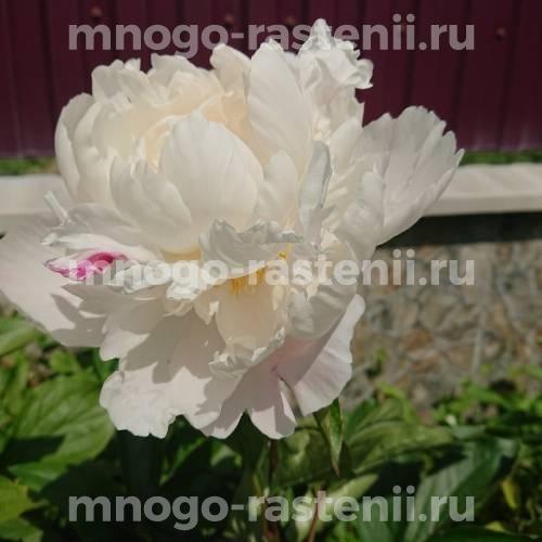 Пион молочноцветковый Корина Версан