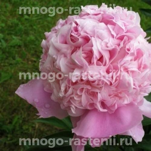 Пион молочноцветковый Мсье Жюль Эли