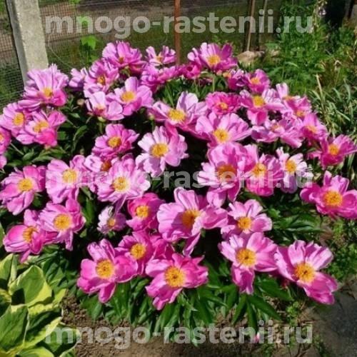 Пион молочноцветковый Нимфа