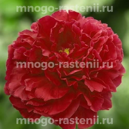 Пион молочноцветковый Ред Суприм